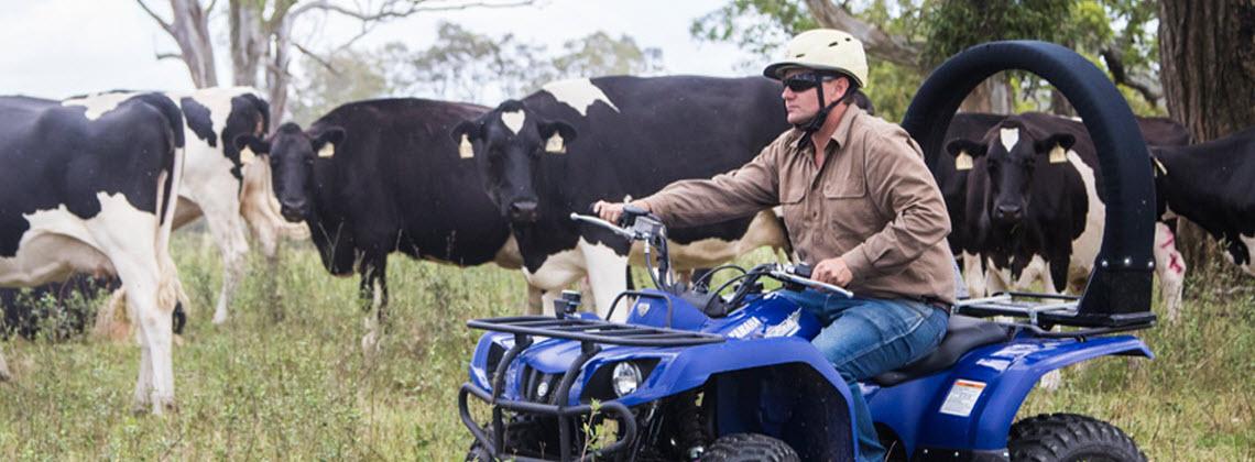 A farmer herding cattle on a blue quad bike