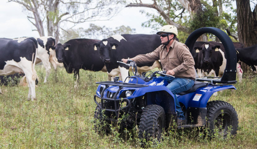 Farmer herding cattle on a blue quad bike