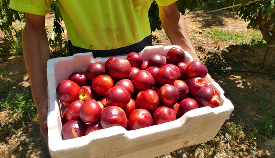 Young worker with a crate of nectarines in an orchard